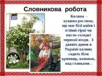 Словникова робота Калина - кущова рослина, що має білі квіти і їстівні гіркі ...