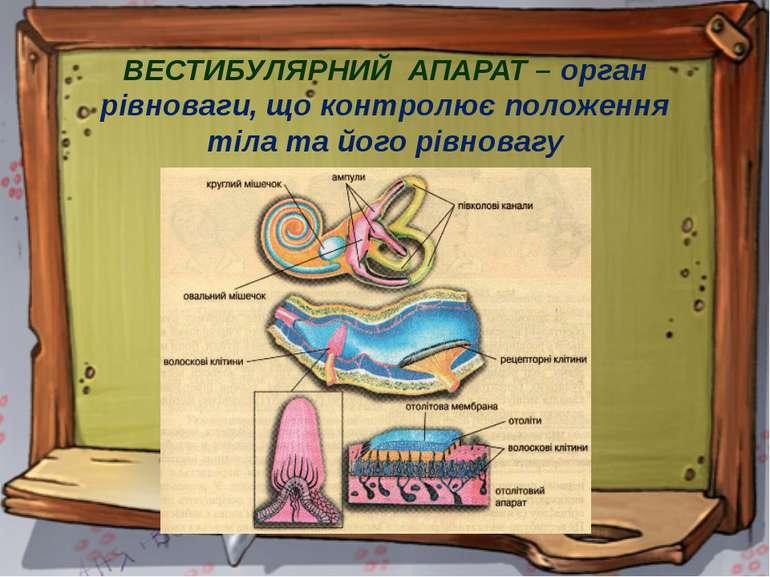 ВЕСТИБУЛЯРНИЙ АПАРАТ – орган рівноваги, що контролює положення тіла та його р...