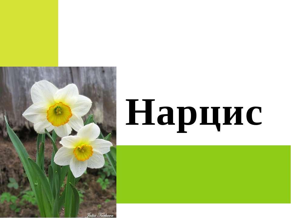 Нарцис