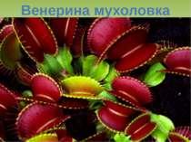 Венерина мухоловка