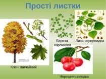 Прості листки Клен звичайний Черешня солодка Липа серцевидна Береза карликова