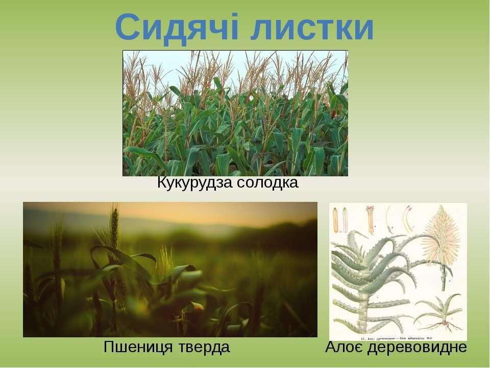 Сидячі листки Пшениця тверда Кукурудза солодка Алоє деревовидне