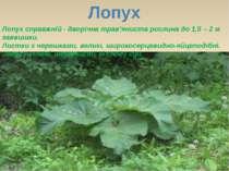 Лопух Лопух справжній - дворічна трав'яниста рослина до 1,5 – 2 м заввишки. Л...