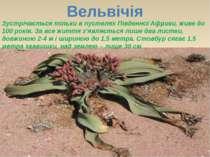 Вельвічія Зустрічається тільки в пустелях Південної Африки, живе до 100 років...