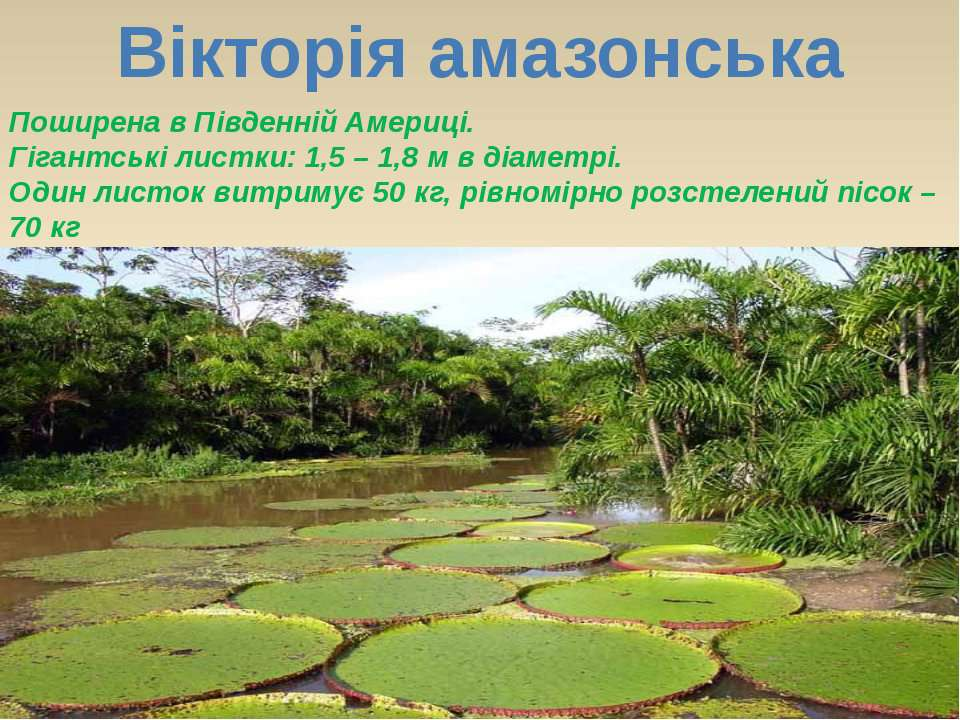 Вікторія амазонська Поширена в Південній Америці. Гігантські листки: 1,5 – 1,...