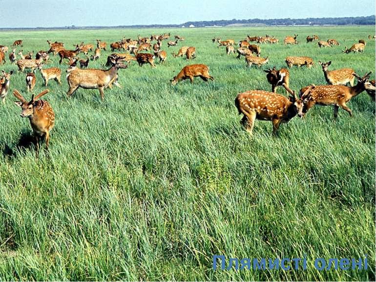 Плямисті олені