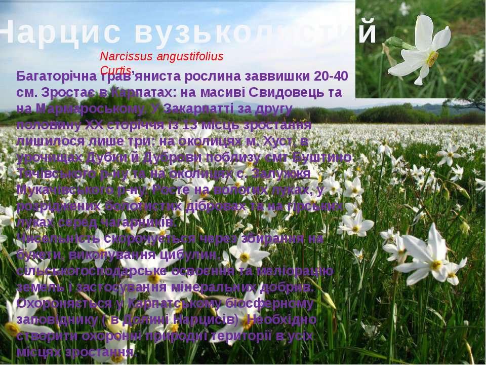 Нарцис вузьколистий Багаторічна трав'яниста рослина заввишки 20-40 см. Зроста...