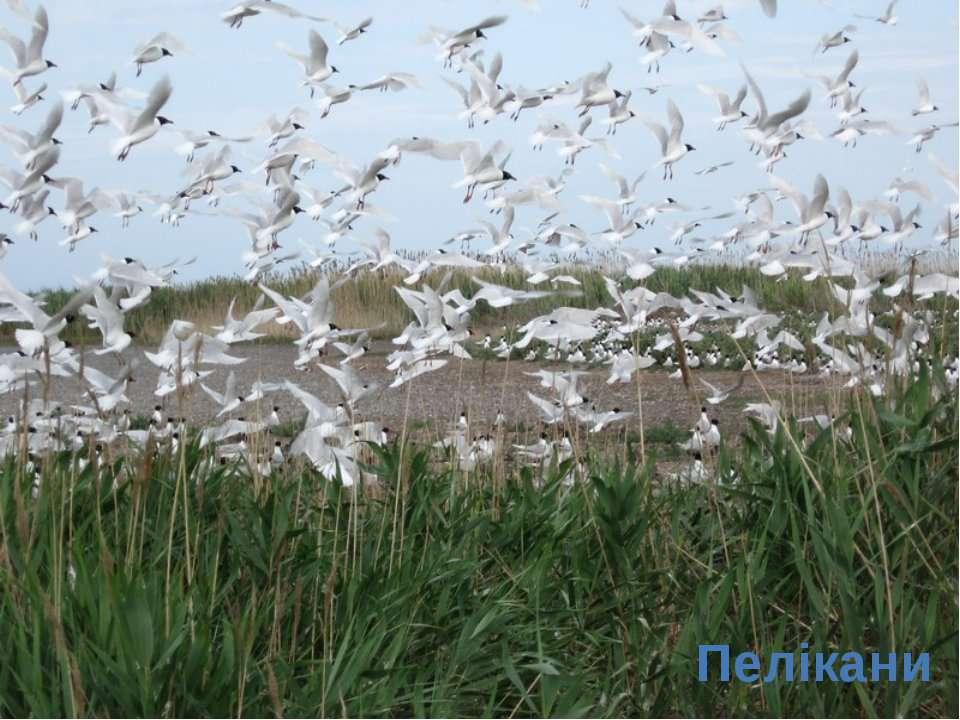 Пелікани
