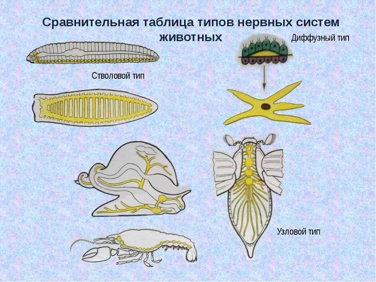 Сравнительная таблица типов нервных систем животных Стволовой тип Диффузный т...