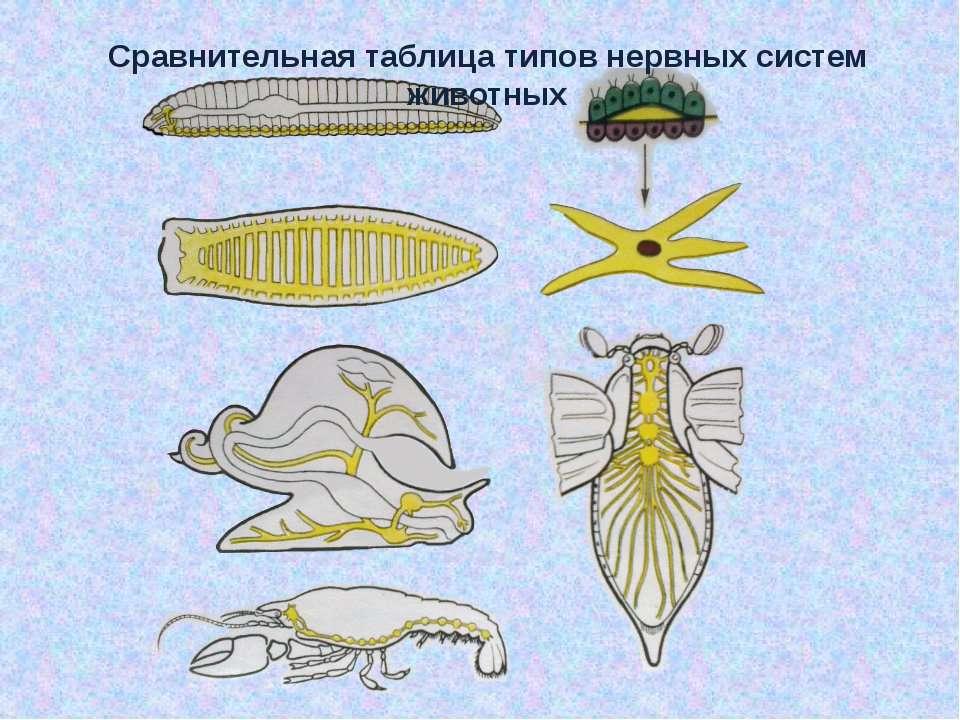 Сравнительная таблица типов нервных систем животных