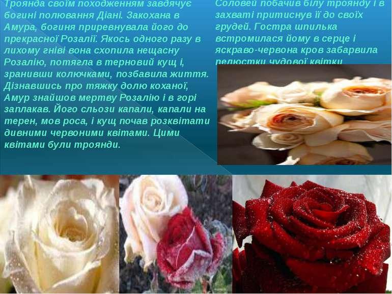 Соловей побачив білу троянду і в захваті притиснув її до своїх грудей. Гостра...