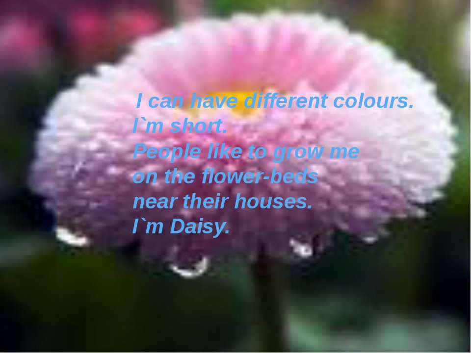 I can have different colours. I`m short. People like to grow me on the flower...