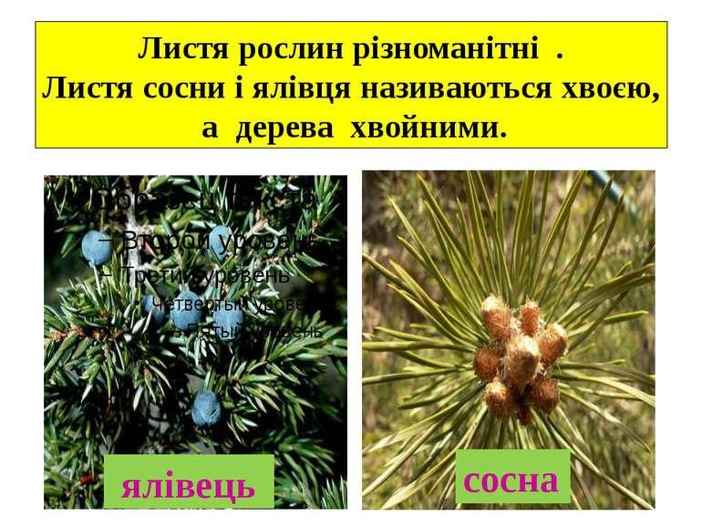 Листя рослин різноманітні . Листя сосни і ялівця називаються хвоєю, а дерева...