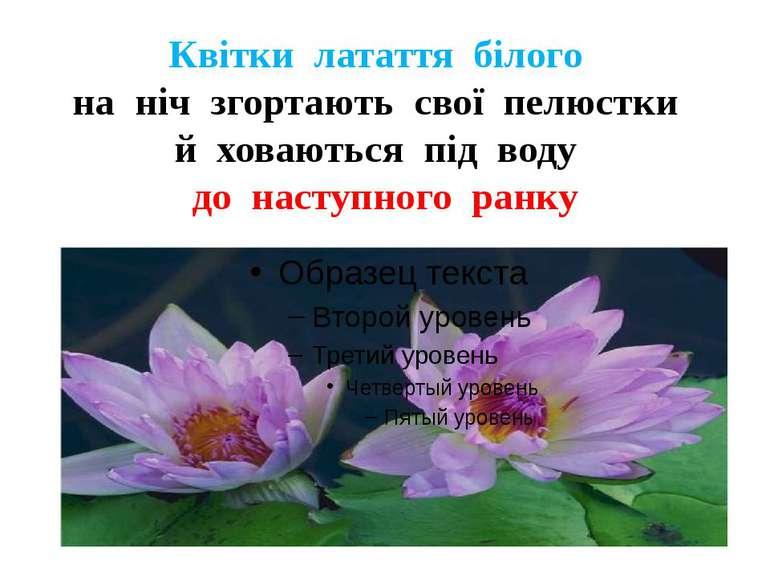 Квітки латаття білого на ніч згортають свої пелюстки й ховаються під воду до ...