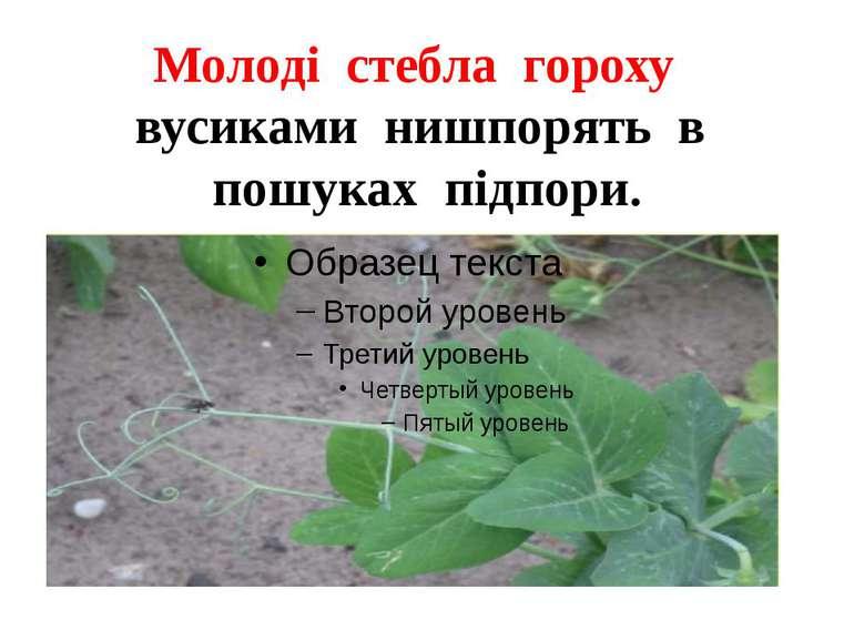 Молоді стебла гороху вусиками нишпорять в пошуках підпори.