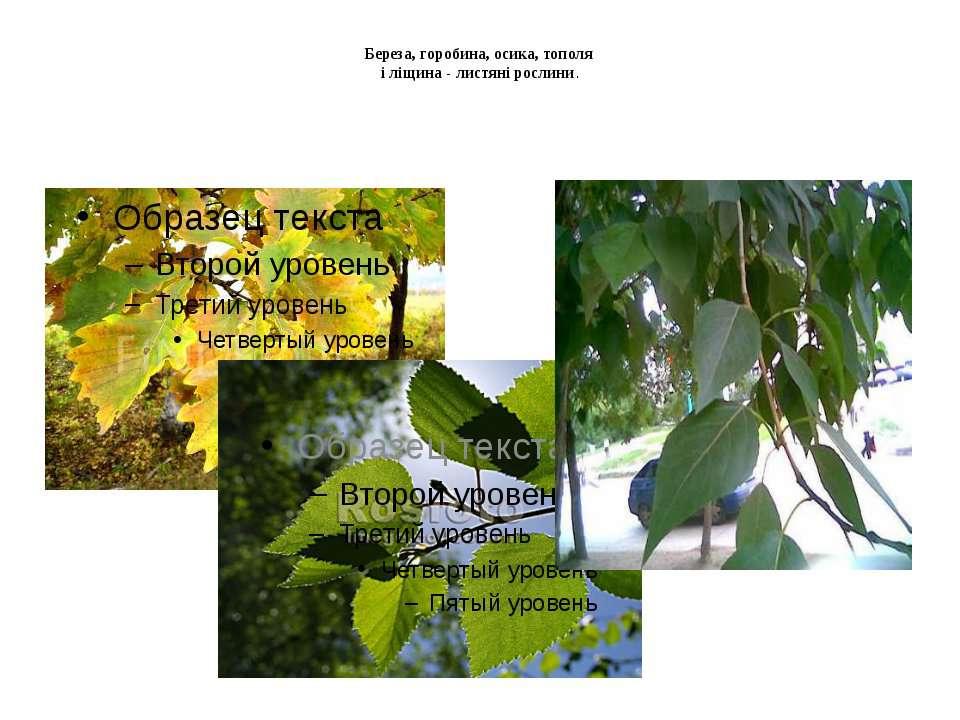 Береза, горобина, осика, тополя і ліщина - листяні рослини.