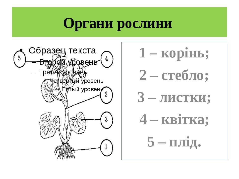Органи рослини 1 – корінь; 2 – стебло; 3 – листки; 4 – квітка; 5 – плід.