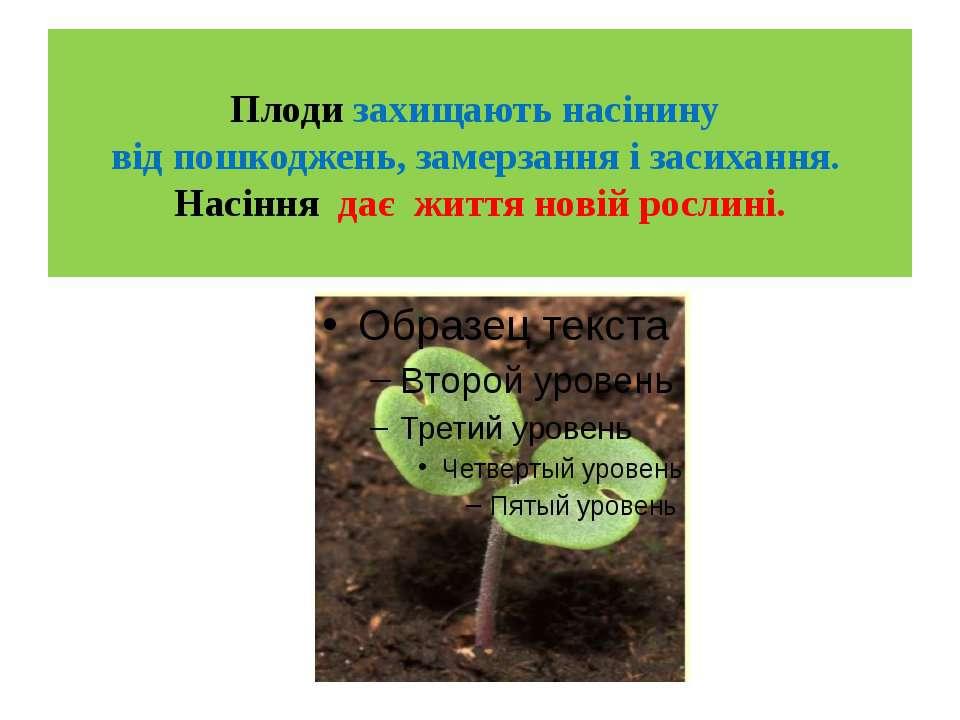 Плоди захищають насінину від пошкоджень, замерзання і засихання. Насіння дає...