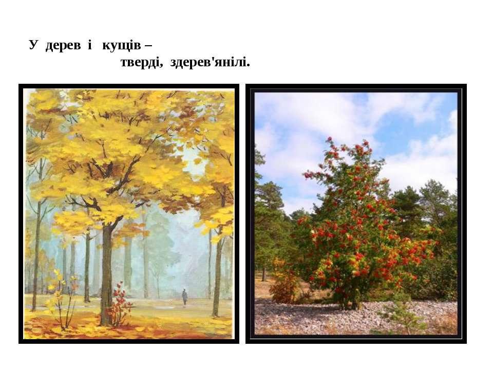 У дерев і кущів – тверді, здерев'янілі.