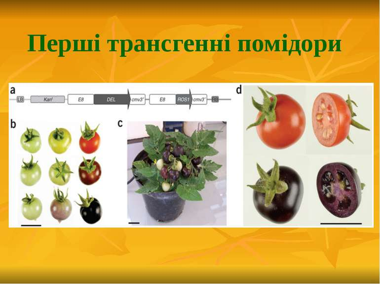 Перші трансгенні помідори