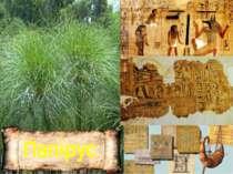 Папірус В Африці по берегах річок і боліт росте очерет – папірус. Він удвічі ...