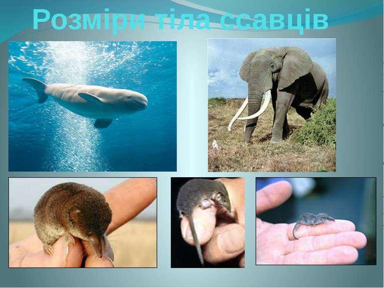 Розміри тіла ссавців