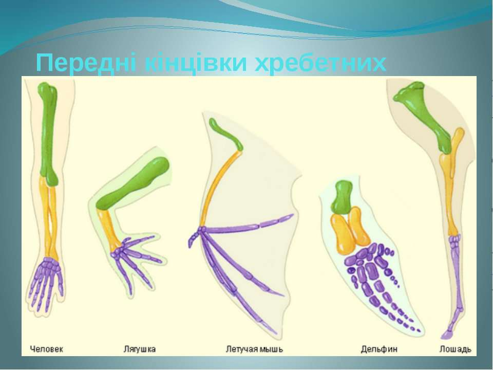 Передні кінцівки хребетних