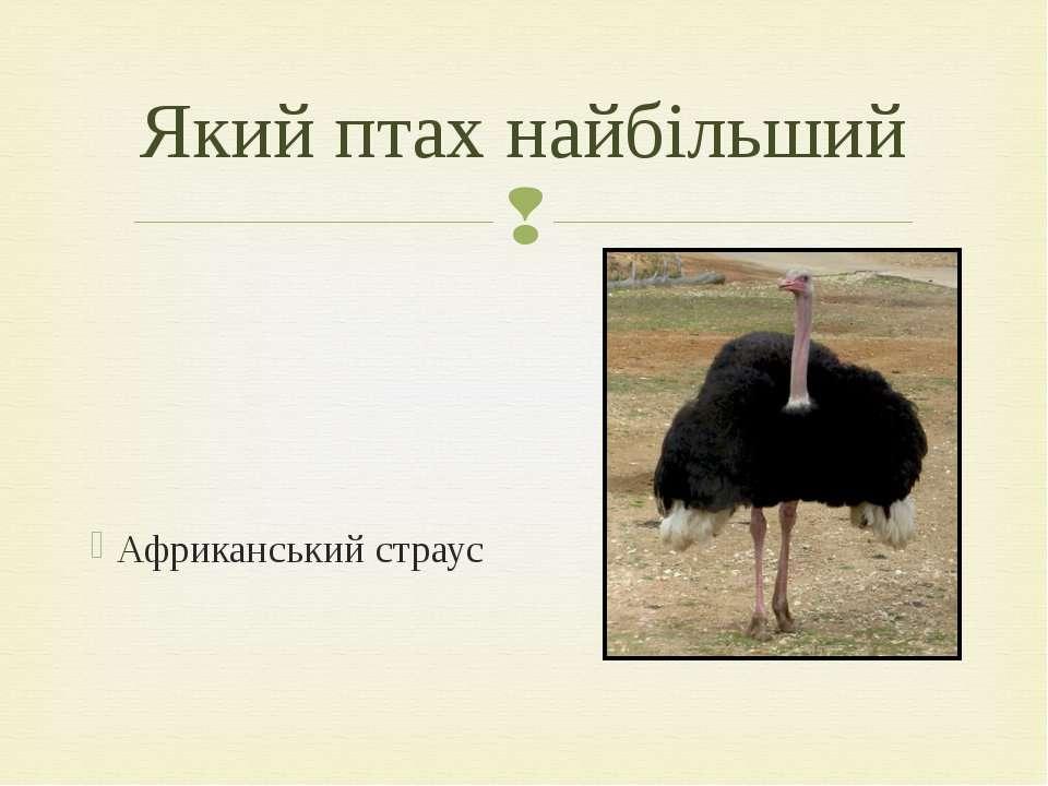 Африканський страус Який птах найбільший
