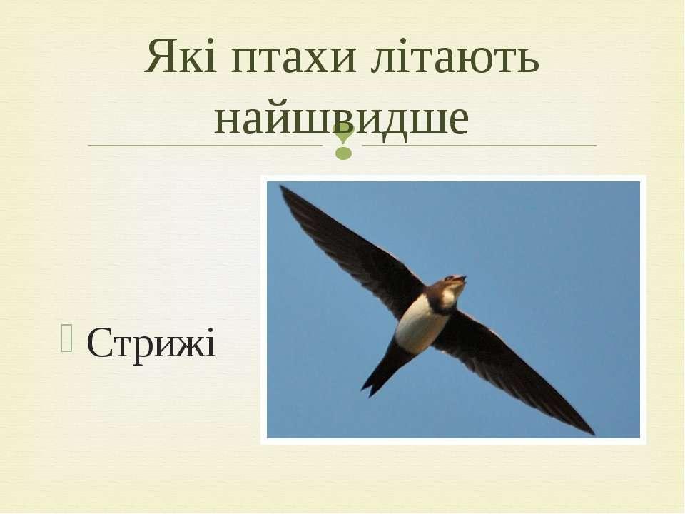 Стрижі Які птахи літають найшвидше