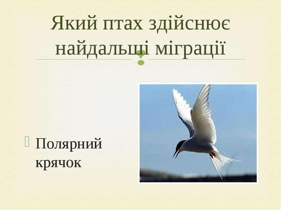Полярний крячок Який птах здійснює найдальші міграції