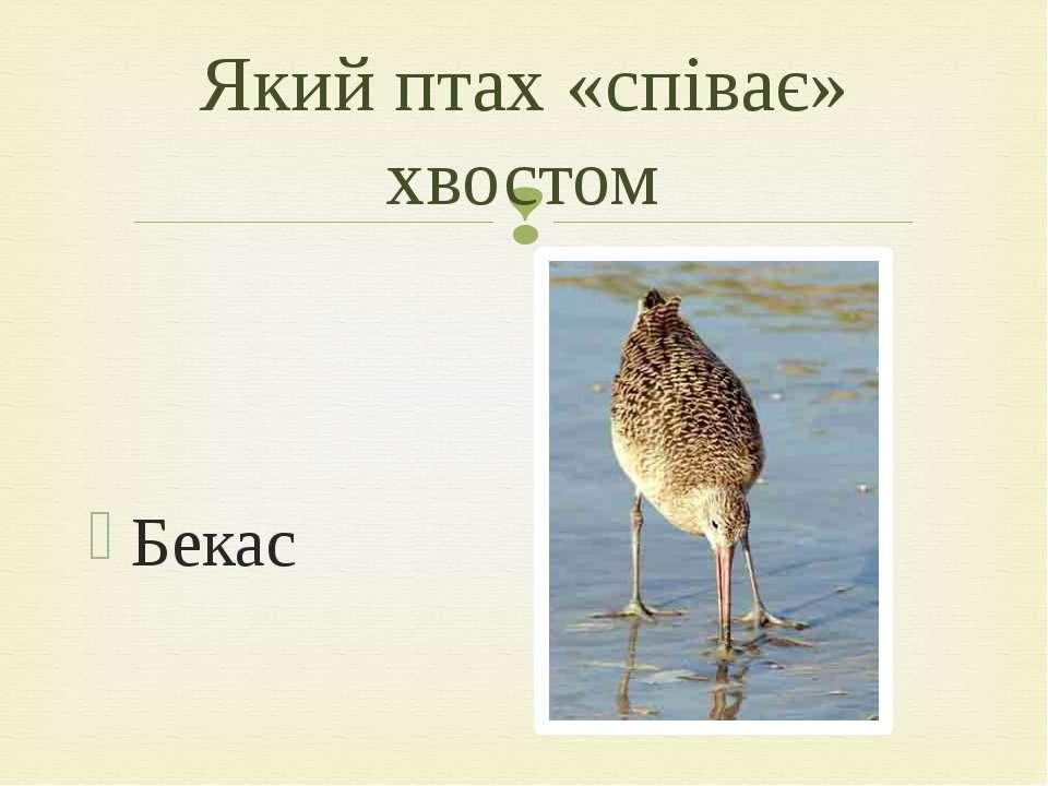 Бекас Який птах «співає» хвостом