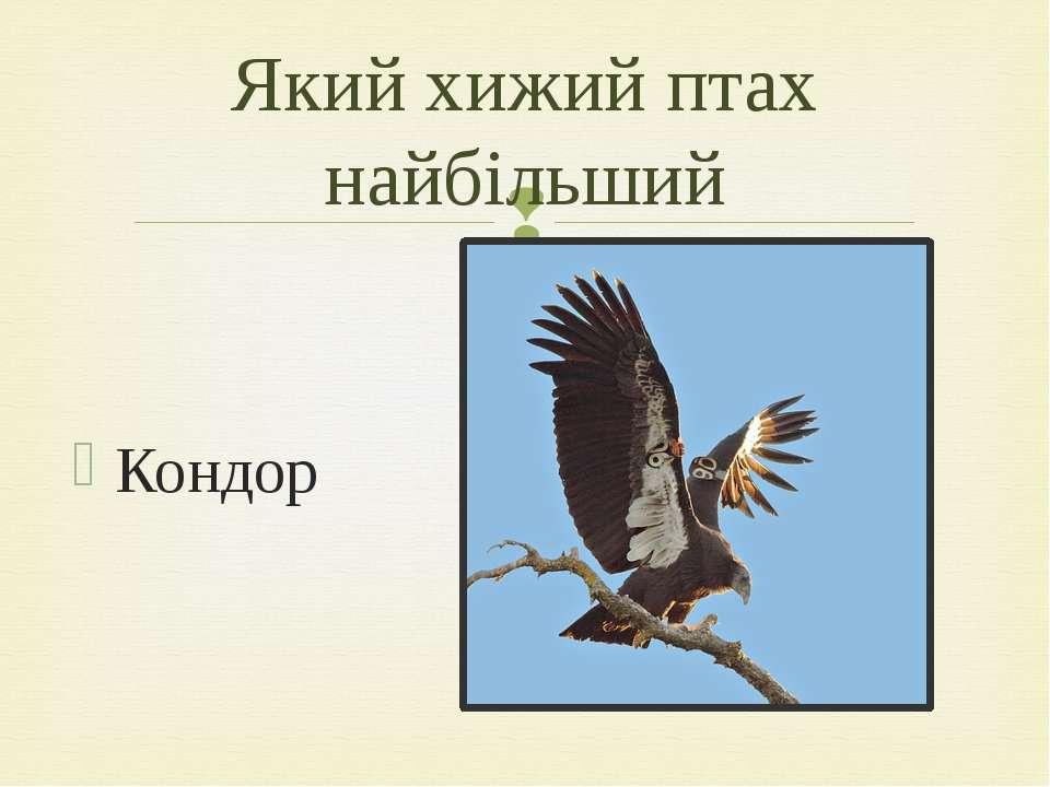 Кондор Який хижий птах найбільший