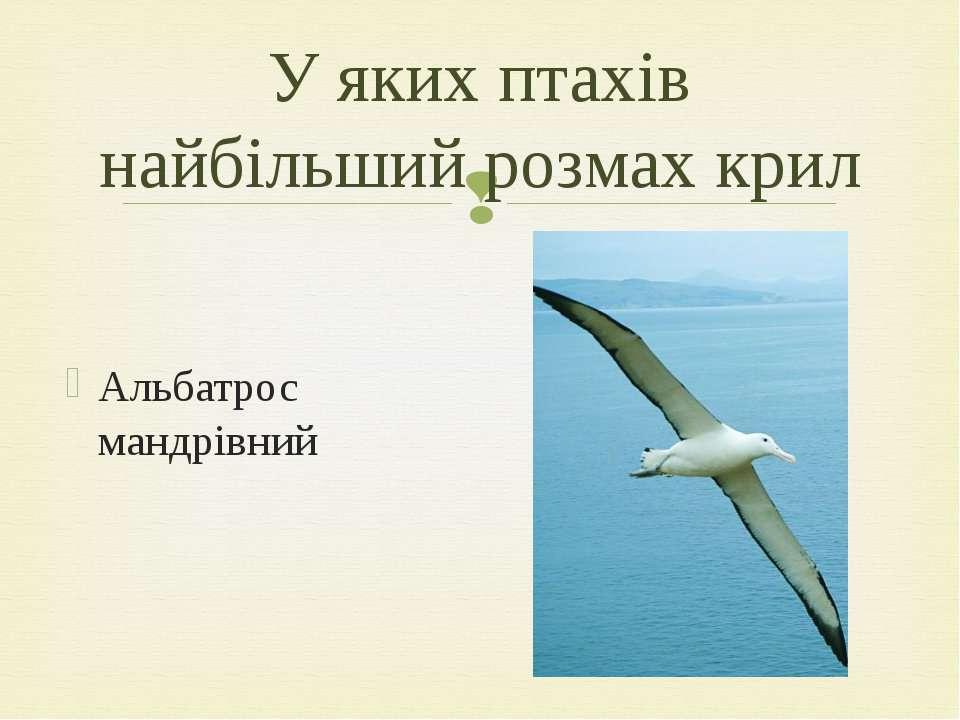 Альбатрос мандрівний У яких птахів найбільший розмах крил