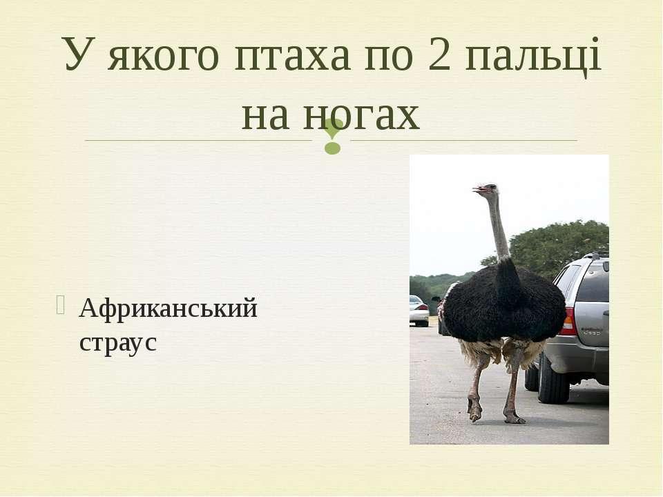 Африканський страус У якого птаха по 2 пальці на ногах
