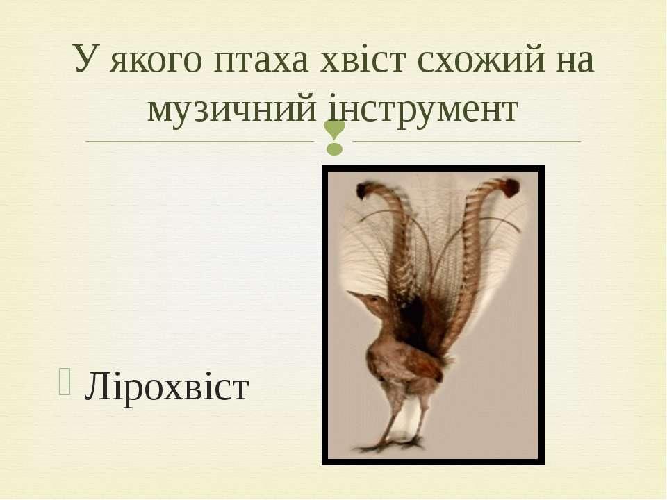 Лірохвіст У якого птаха хвіст схожий на музичний інструмент