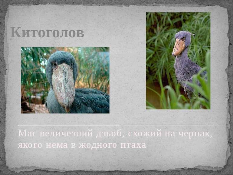 Китоголов Має величезний дзьоб, схожий на черпак, якого нема в жодного птаха