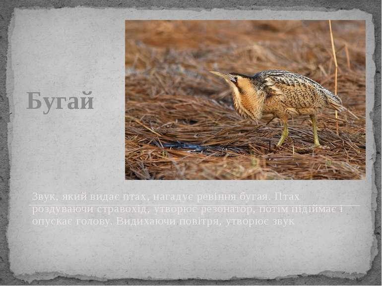 Бугай Звук, який видає птах, нагадує ревіння бугая. Птах роздуваючи стравохід...