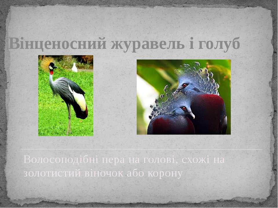 Вінценосний журавель і голуб Волосоподібні пера на голові, схожі на золотисти...