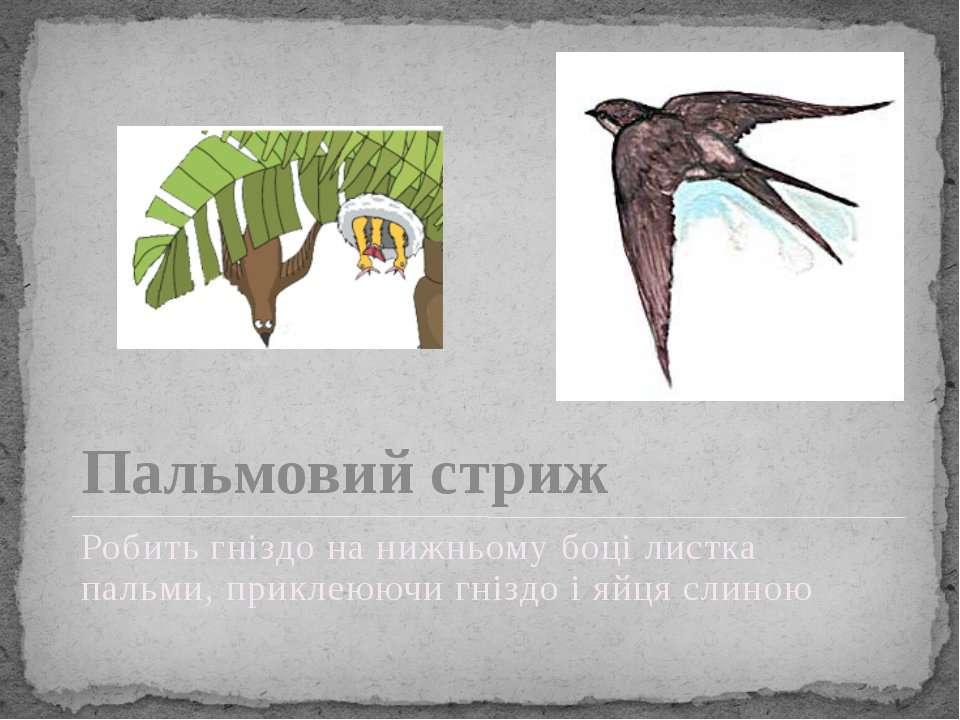 Пальмовий стриж Робить гніздо на нижньому боці листка пальми, приклеюючи гніз...