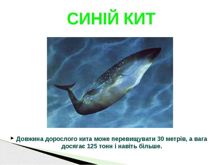 Довжина дорослого кита може перевищувати 30 метрів, а вага досягає 125 тонн і...