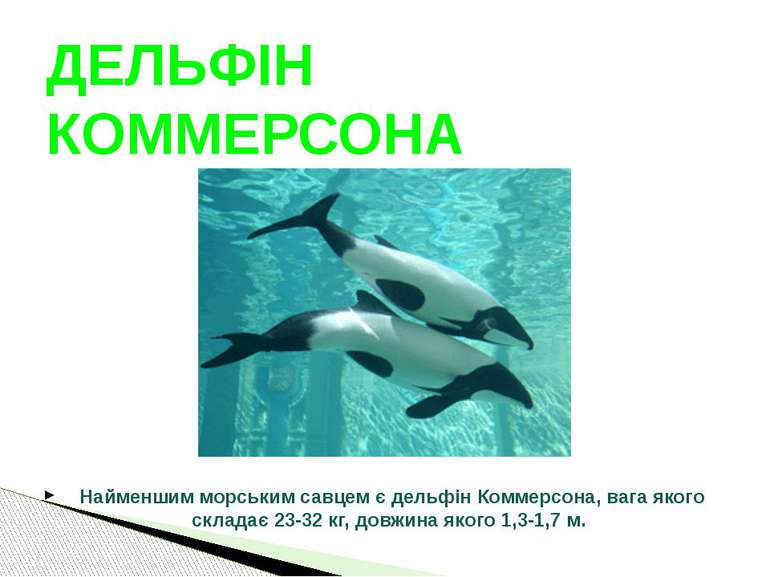 Найменшим морським савцем є дельфін Коммерсона, вага якого складає 23-32 кг, ...