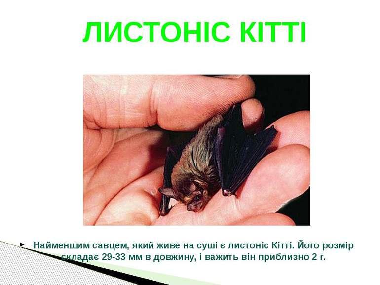 Найменшим савцем, який живе на суші є листоніс Кітті. Його розмір складає 29-...