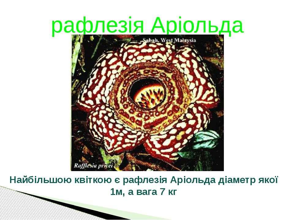 рафлезія Аріольда Найбільшою квіткою є рафлезія Аріольда діаметр якої 1м, а в...