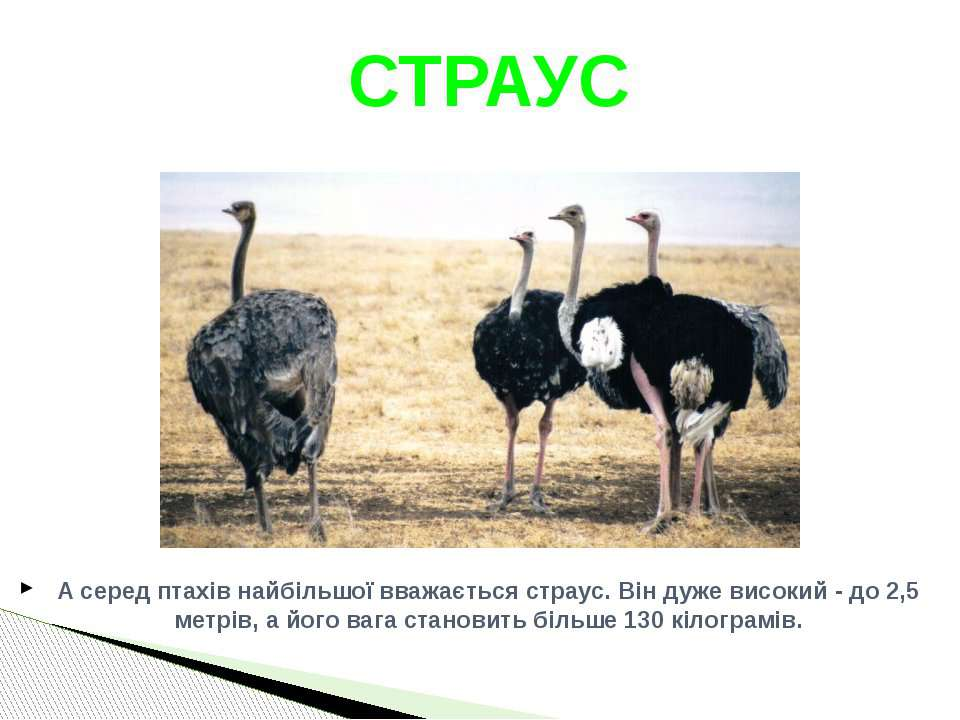 А серед птахів найбільшої вважається страус. Він дуже високий - до 2,5 метрів...