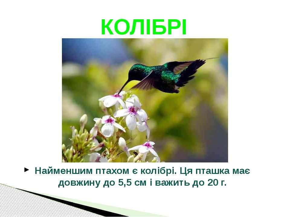 Найменшим птахом є колібрі. Ця пташка має довжину до 5,5 см і важить до 20 г....