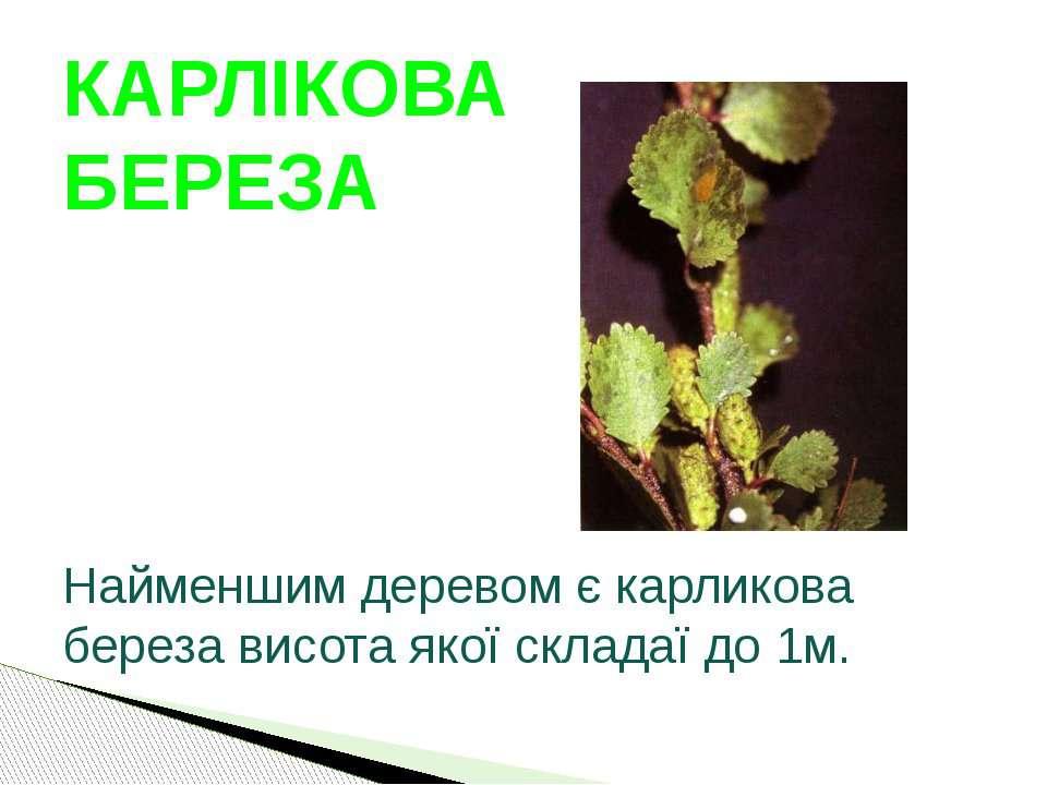 Найменшим деревом є карликова береза висота якої складаї до 1м. КАРЛІКОВА БЕРЕЗА