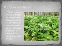 Цибуля ведмежа - Allium ursinum, росте в тiнистих, широколистяних й мiшаних л...