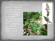 Коручка широколиста Epipactis helleborine (L.) Crantz- досить звичайний вид в...