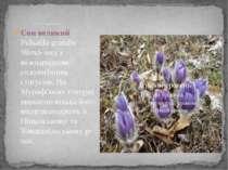 Весняні первоцвіти Сон великий Pulsatila grandis Wend- вид з міжнародним созо...