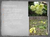 Первоцвіт Primula officinalis Hill Місцеві назви — баранці, жовтуха, миколайч...